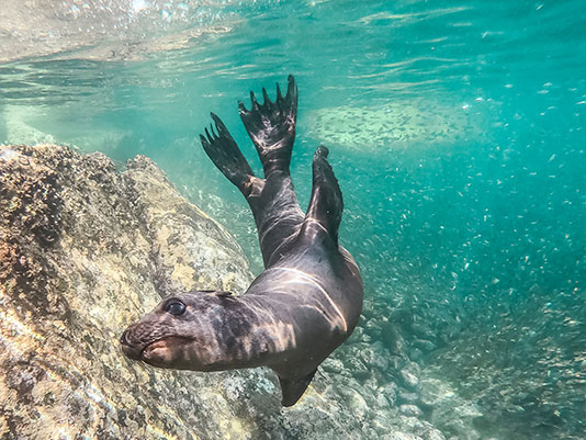 image of seal. get a glimps of Seal at la jolla cove